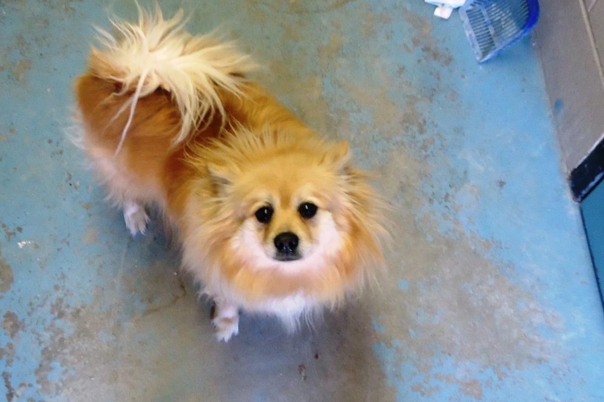 Pomeranian 001